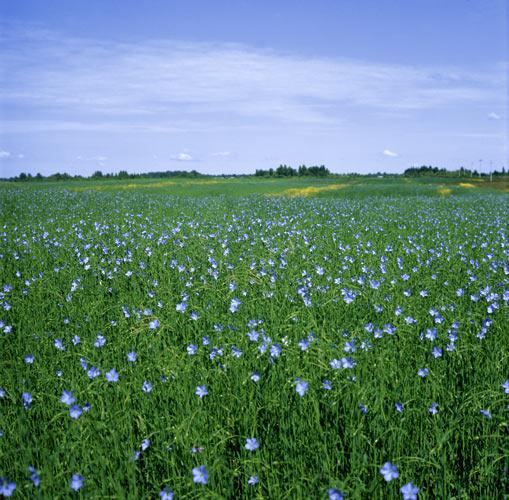 Лен обыкновенный (долгунец) - одно из важнейших текстильных растений.
